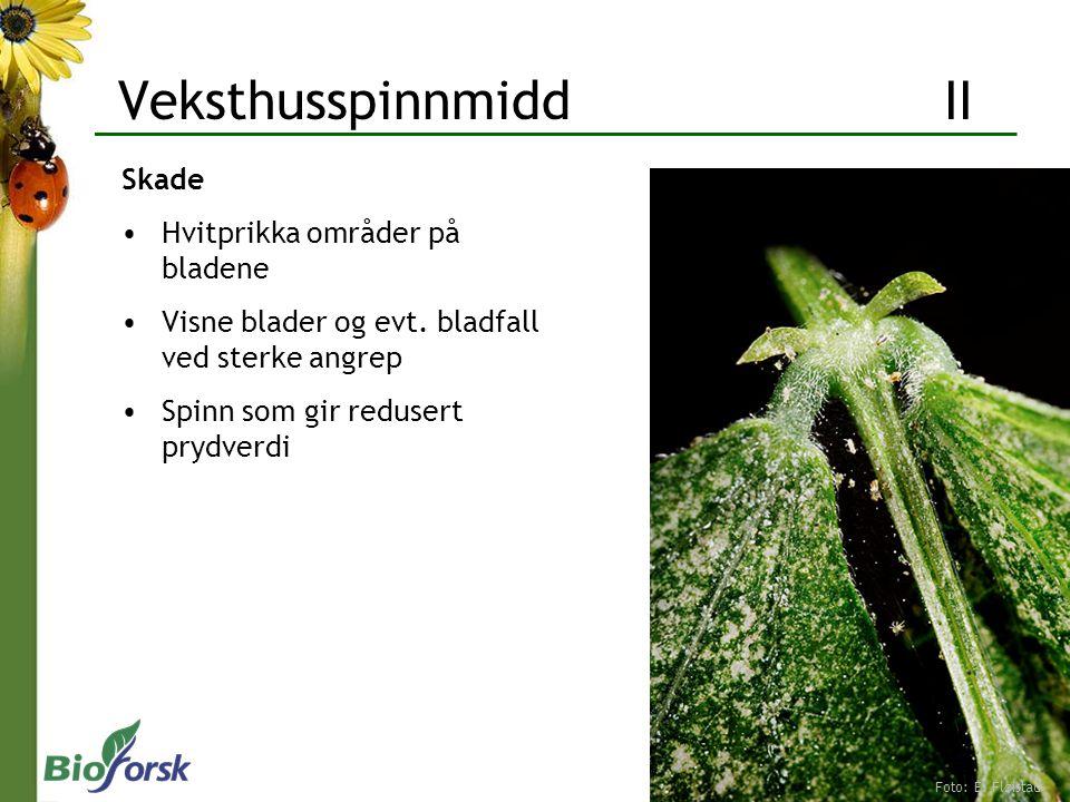 Veksthusspinnmidd II Skade Hvitprikka områder på bladene Visne blader og evt. bladfall ved sterke angrep Spinn som gir redusert prydverdi Foto: E. Flø