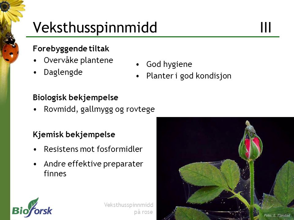 Forebyggende tiltak Overvåke plantene Daglengde Biologisk bekjempelse Rovmidd, gallmygg og rovtege Kjemisk bekjempelse Resistens mot fosformidler Andre effektive preparater finnes God hygiene Planter i god kondisjon Veksthusspinnmidd III Veksthusspinnmidd på rose
