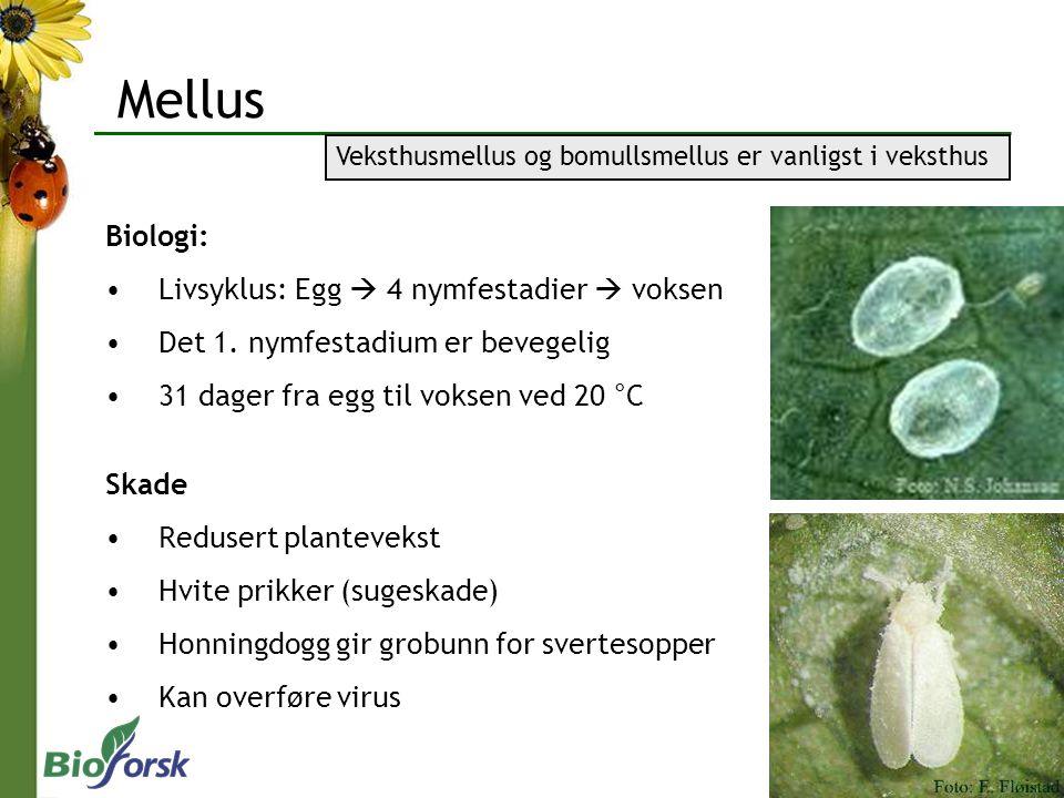 Mellus Biologi: Livsyklus: Egg  4 nymfestadier  voksen Det 1. nymfestadium er bevegelig 31 dager fra egg til voksen ved 20 °C Skade Redusert plantev