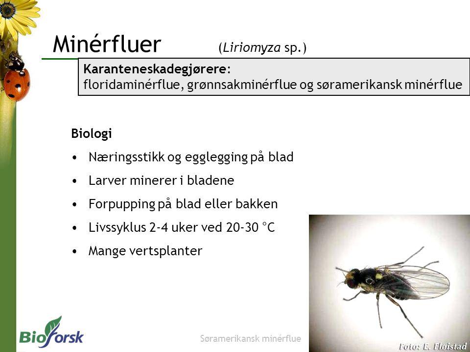 Minérfluer (Liriomyza sp.) Biologi Næringsstikk og egglegging på blad Larver minerer i bladene Forpupping på blad eller bakken Livssyklus 2-4 uker ved