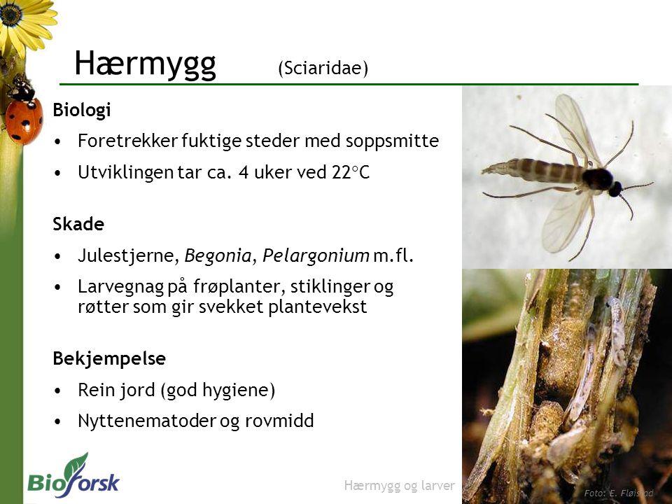 Hærmygg (Sciaridae) Biologi Foretrekker fuktige steder med soppsmitte Utviklingen tar ca. 4 uker ved 22  C Skade Julestjerne, Begonia, Pelargonium m.