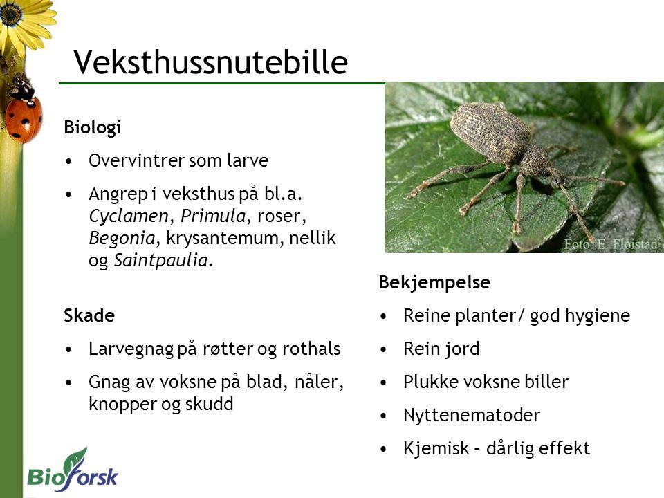 Veksthussnutebille Biologi Overvintrer som larve Angrep i veksthus på bl.a.