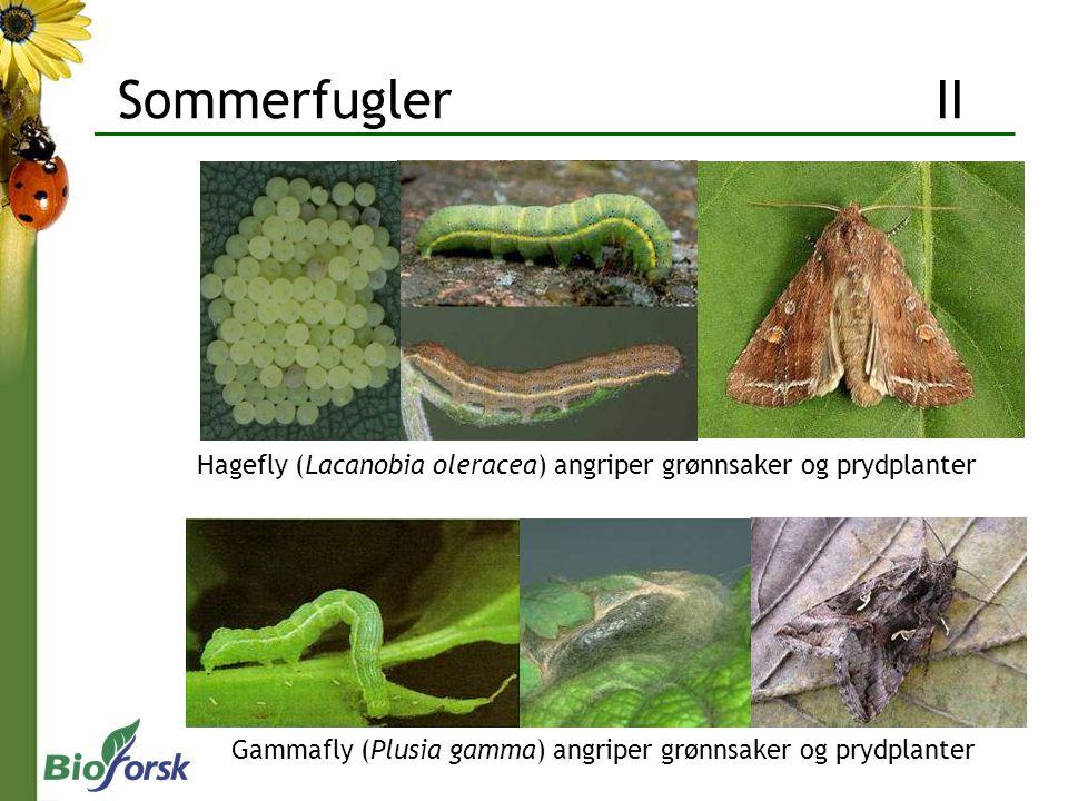 Gammafly (Plusia gamma) angriper grønnsaker og prydplanter Hagefly (Lacanobia oleracea) angriper grønnsaker og prydplanter Sommerfugler II