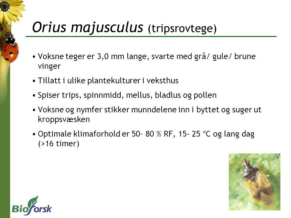 Voksne teger er 3,0 mm lange, svarte med grå/ gule/ brune vinger Tillatt i ulike plantekulturer i veksthus Spiser trips, spinnmidd, mellus, bladlus og pollen Voksne og nymfer stikker munndelene inn i byttet og suger ut kroppsvæsken Optimale klimaforhold er 50- 80 % RF, 15- 25 ºC og lang dag (>16 timer) Orius majusculus (tripsrovtege)