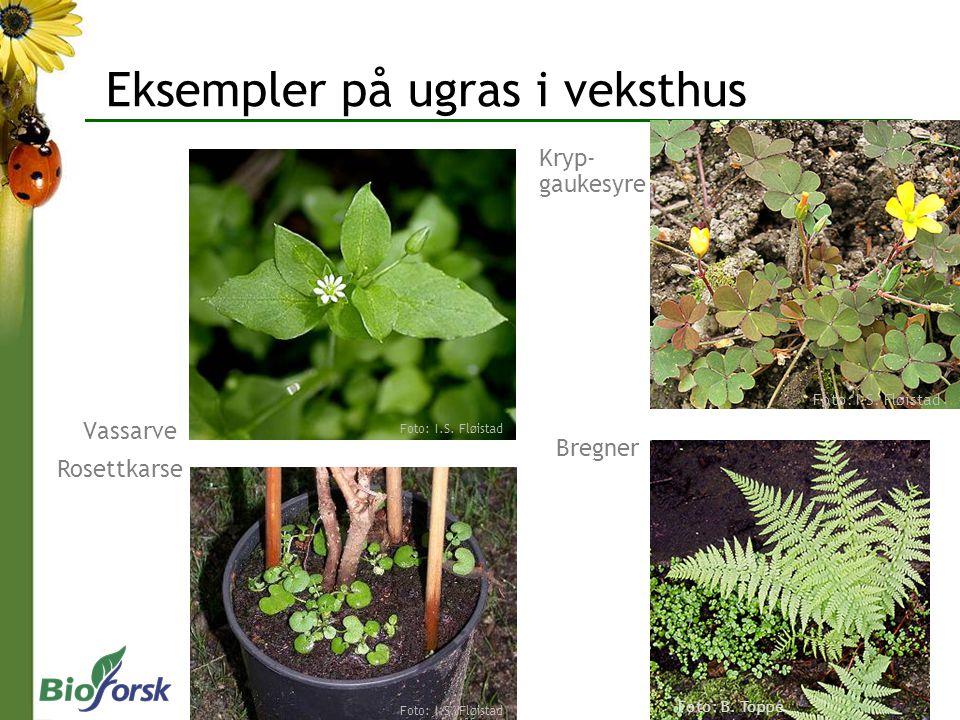 Sopp, bakterier og virus Del 2 Sjukdommer på prydplanter i veksthus Foto: D.-R BlystadFoto: A.