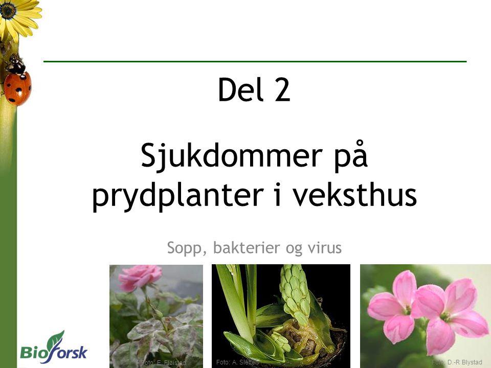 Sopp, bakterier og virus Del 2 Sjukdommer på prydplanter i veksthus Foto: D.-R BlystadFoto: A. Sletten Foto: E. Fløistad