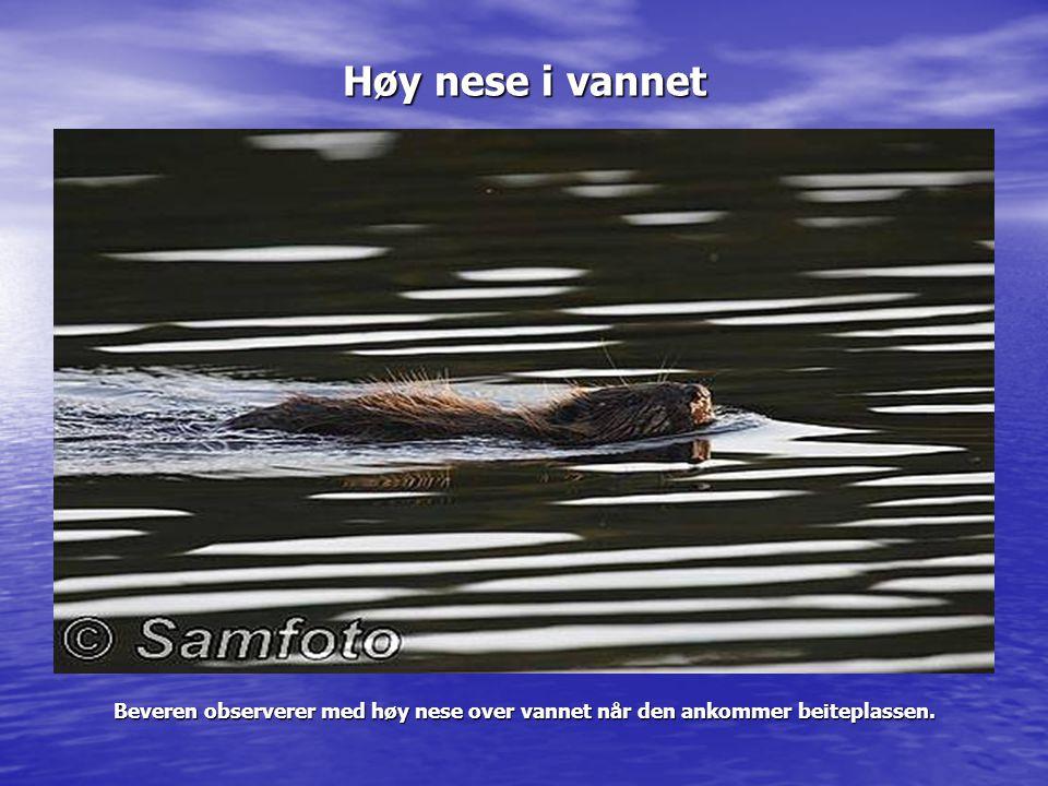 Høy nese i vannet Beveren observerer med høy nese over vannet når den ankommer beiteplassen.