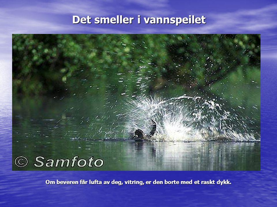 Det smeller i vannspeilet Om beveren får lufta av deg, vitring, er den borte med et raskt dykk.
