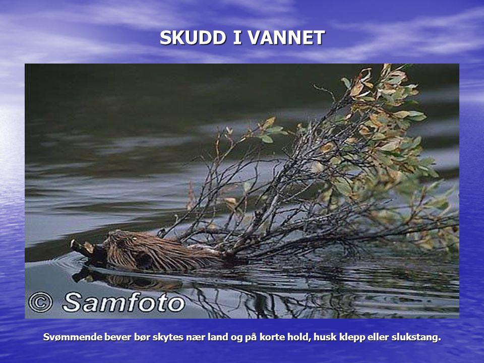 SKUDD I VANNET Svømmende bever bør skytes nær land og på korte hold, husk klepp eller slukstang.
