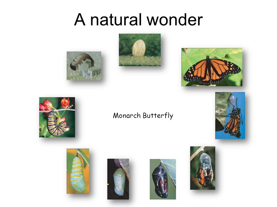 A natural wonder Monarch Butterfly