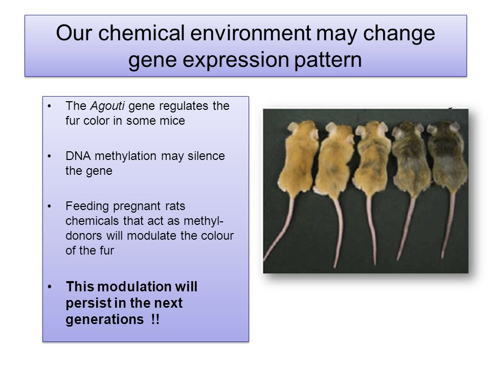 Our chemical environment may change gene expression pattern The Agouti gene regulates the fur color in some mice DNA methylation may silence the gene Feeding pregnant rats chemicals that act as methyl- donors will modulate the colour of the fur This modulation will persist in the next generations !.