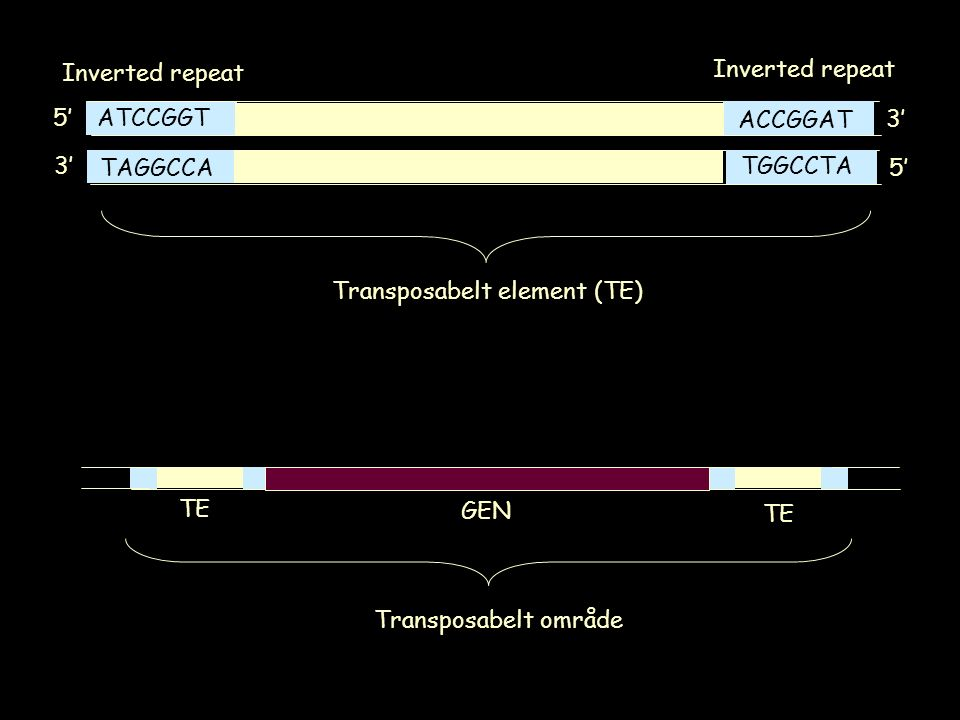 ATCCGGT TAGGCCA ACCGGAT TGGCCTA 5' 3' 5' 3' Inverted repeat Transposabelt element (TE) TE GEN Transposabelt område